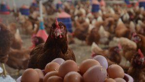 Tavuk eti ve yumurta üretiminde rekora doğru.