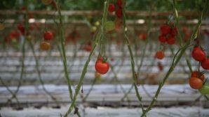 Organik ürün pazar büyüklüğü 90 milyar dolara ulaştı