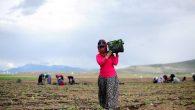 Tarım istihdamdaki gücünü koruyor…