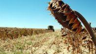 Ayçiçeğinde fiyat, ayçiçeği-buğday paritesine göre belirlenmeli