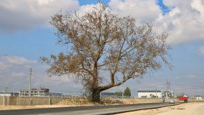 270 Yıllık Çınar Ağacı yola kurban edilmedi