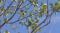 Kışlaçay Mahallesinde Erik Ağacı Meyve verdi