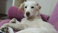 Sinmez Ailesi Kaybolan Köpeği 'LENİ'yi Arıyor