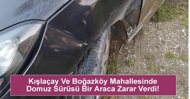 Kışlaçay Ve Boğazköy Mahallesinde Domuz Sürüsü Bir Araca Zarar Verdi!