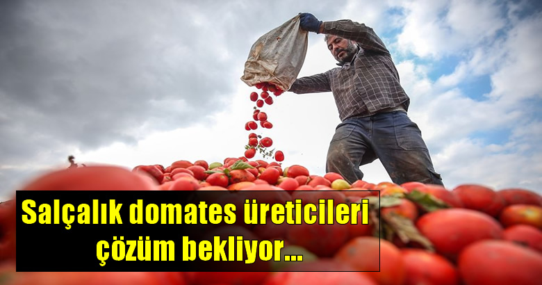Salçalık domates üreticileri çözüm bekliyor…